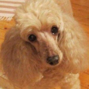 Фото умного среднего пуделя - породы собак.