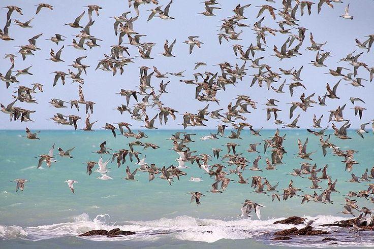 Migrating Waders