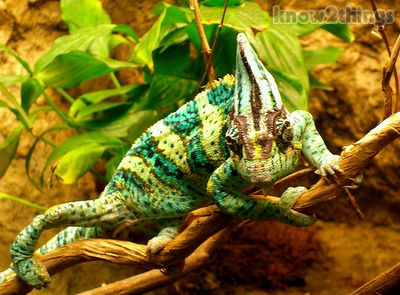 A Chameleon Can Change Color | Everything You Know