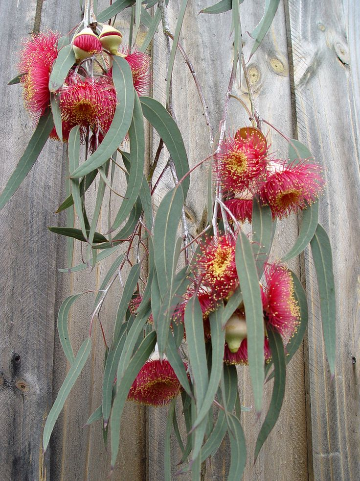 "Spring is round the corner.     Ornamental weeping gum with white trunk and large red flowers that are produced in spring.    Flowers from a mature ""Silver Princess""."