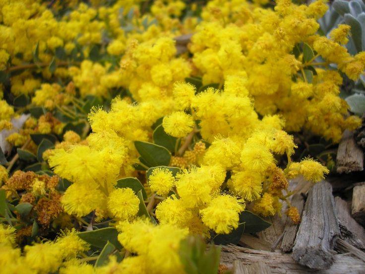Acacia Cascade --- For more Australian native plants visit austraflora.com