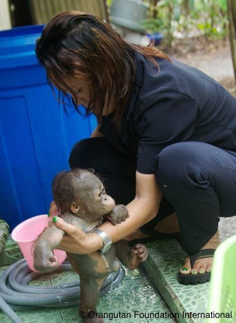 17 Best images about Orangutan Love on Pinterest | Orphan ...
