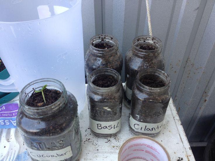 Herb garden in mason jars