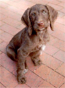 Weimerdoodle puppy: Weimaraner Poodle, Future Puppies, Weimardoodl Puppies, Poodle Mixed, Standards Poodle, Puppies Weimaraner, Amazing Dogs, Weimerdoodl Puppies, Poodle Hybrid