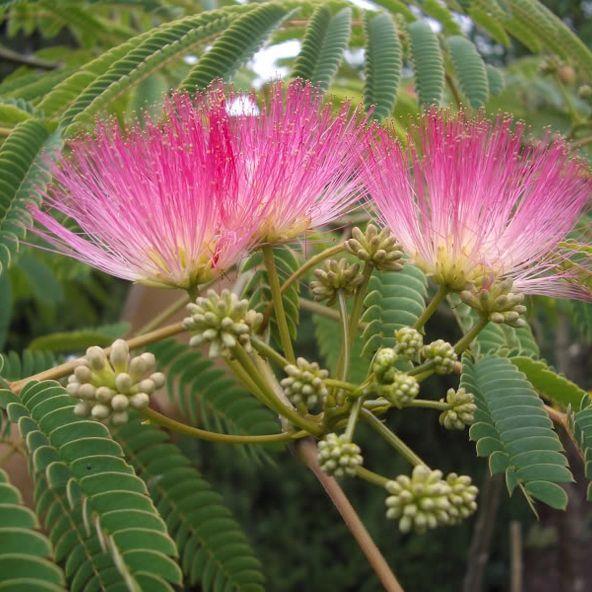 Albizia julibrissin rosea - (The Pink Siris)