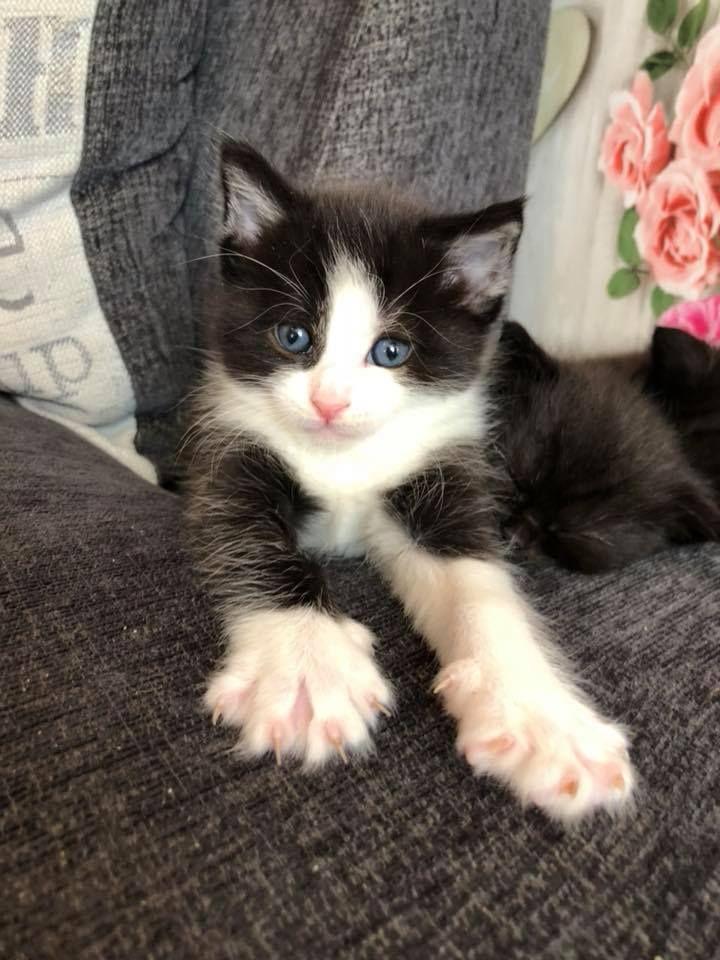 Four Month Black N White Kitten Healthy Http Ift Tt 2zlt9fz White Kittens Black And White Kittens Kittens Cutest