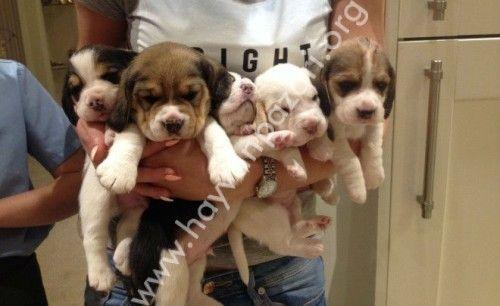 benimsenmesi için sağlıklı sevimli köpek yavrusu Beagle!!aşı beagle köpek mevcut ve görülebilir doğum güzel canlı yavru limon, beyaz ve çocuklar kedi ve diğer hayvanlar anne ve baba ile aile...