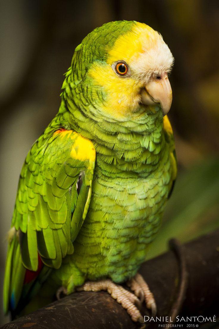 """""""Yellow Spy"""", fotografía de un loro de cabeza amarilla en el Zoo de Santo Inácio, Portugal."""