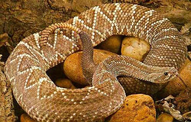 Animais Incríveis: Cobra Cascavel