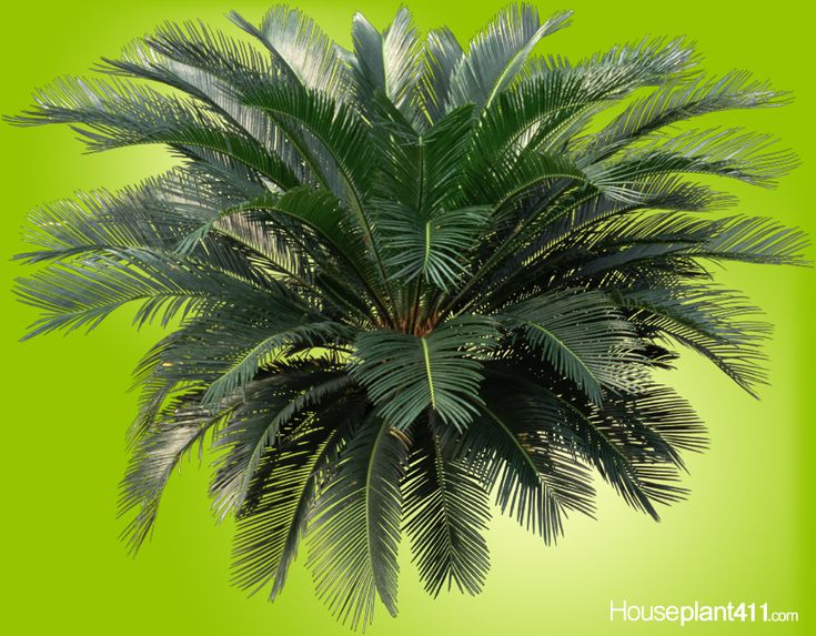how to prune a fish tail palm