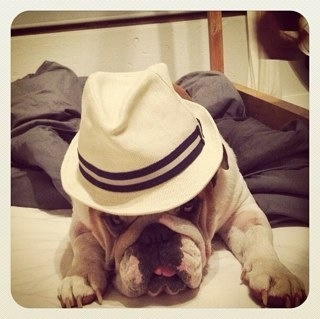 Bulldogs are awesome