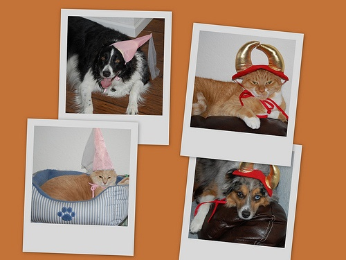 #pets #costumes #dogs #cats cat dog costume pet #bordercollie #miniaussie #gingercat