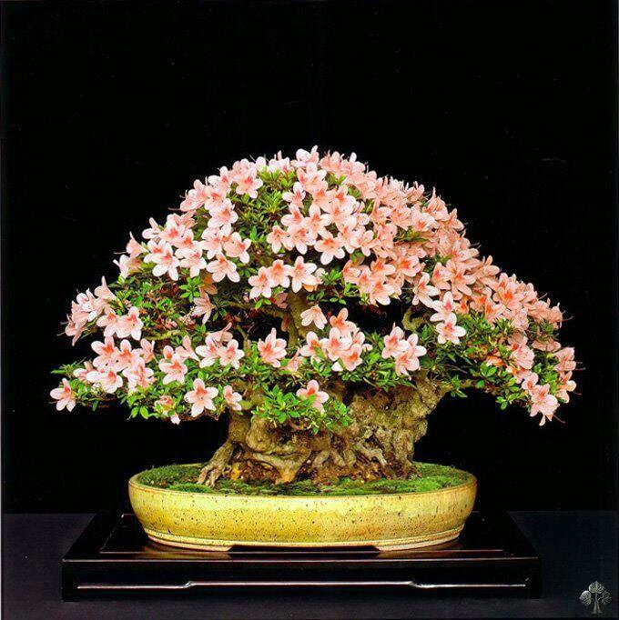 Flowering and fruitbearing Bonsai trees - Bonsai Empire