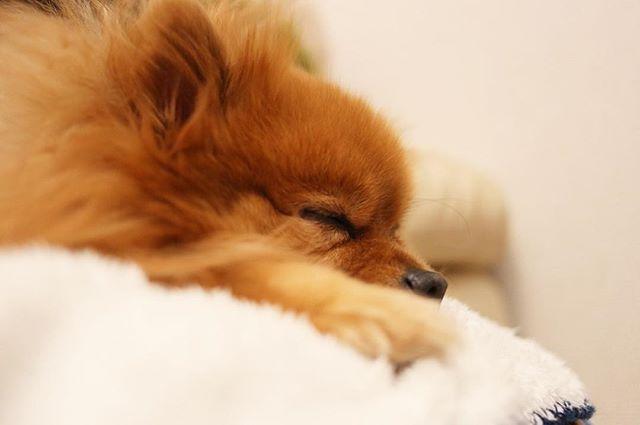 🐾 (´-`).。oO . #ポメラニアン #ぽめ #犬 #わんちゃん #たぬき #愛犬 #ポメラニアンが世界一可愛い #犬バカ部 #ふわもこ部 #カメラ女子 #カメラ日和 #ファインダー越しの私の世界 #写真好きな人と繋がりたい #写真部 #写真撮ってる人と繋がりたい #犬好きな人と繋がりたい #ポメ部 #Canon #puppy #happy #pomeranian #pom #pomeranianworld #dog #Instadog #petstagram #tagsforlikes #멍스타그램 #개스타그램