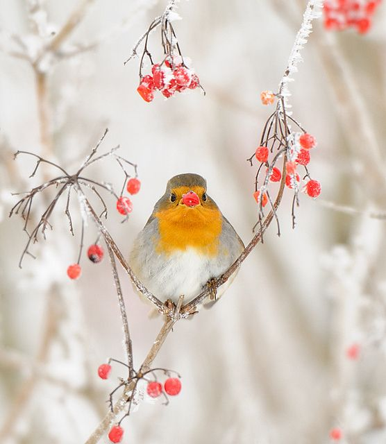 Robin in winter...the National Bird of England and also the herald of Christmas too by m. geven