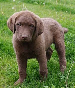 Chesapeake Bay Retriever breed info,Pictures,Characteristics,Hypoallergenic:No
