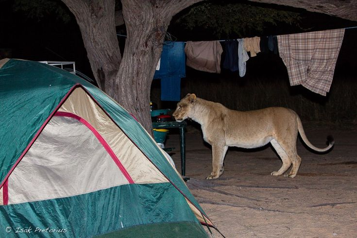 "Camping in Africa has its risks... ""We found a visitor at our campsite after returning from a game drive one evening in Botswana. This lioness obviously visits the campsite often looking for scraps, but we took no chance. We followed her on the road until she was at least a kilometer away from the camp before we raced back and jumped into our tents!"" IP by Isak Pretorius Wildlife Photography https://www.facebook.com/isakpretorius.wildlifephotography"