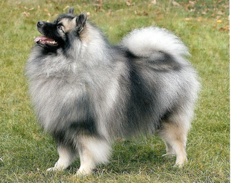 262 best images about Keeshond on Pinterest | Dog show ...