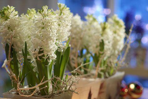 Christmas hyacints