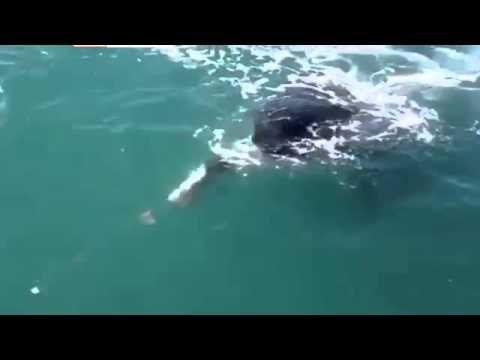 Grande spavento per il pescatore: al suo amo abbocca un'orca - Video http://www.digita.org/grande-spavento-per-il-pescatore-al-suo-amo-abbocca-unorca-video/ #video #orca #pesca Doveva essere una tranquilla giornata di pesca, quando dalle calme acque al posto di un pesce di piccola taglia è emersa un'enorme orca. Questa è la brutta disavventura, capitata ad un pescatore che per fortuna nè è uscito solo con un terribile spavento. L'accaduto risale a ...