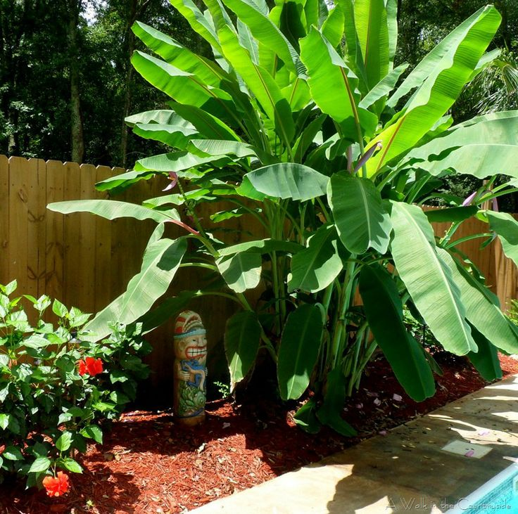 23 best images about banana trees in landscapes on pinterest. Black Bedroom Furniture Sets. Home Design Ideas