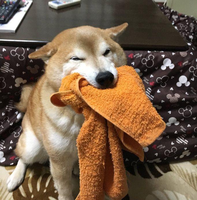 今回は、飼い主さんが帰ってくると口にタオルやおもちゃを咥えて現れるという、可愛い行動をしちゃう柴犬くうちゃんをご紹介します。この写真がアップされているのは、柴犬…(2017年02月09日 11時36分24秒)