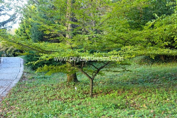 styrax japonica branches - Google Search