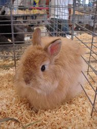 My favorite Rabbit Breed of them all! ...The Jersey Wooley rabbit makes a good addition to a fiber artist's farm-animal menagerie.  They are fab!