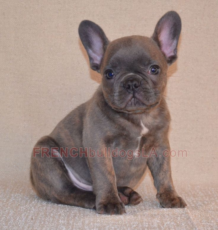 baby french bulldog for sale 1000 ideas about bulldogs for sale on pinterest french 6831