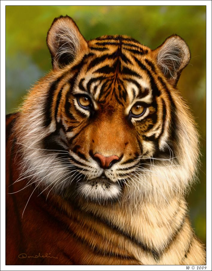 Tiger by wendelin.deviantart.com on @deviantART