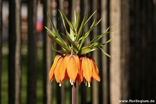 Beitrag über die Kaiserkrone (Fritillaria imperialis). Die Zwiebelpflanze wird seit Jahrhunderten in Bauerngärten kultiviert.