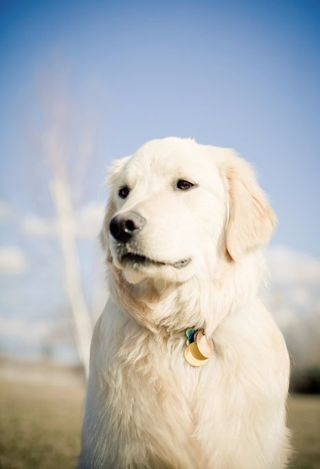1000+ images about English Cream Golden Retrievers on ...