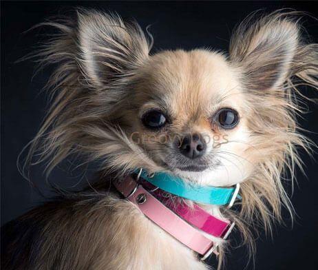 Aloké-Laklederen-Halsband-Kleine-honden-diverse