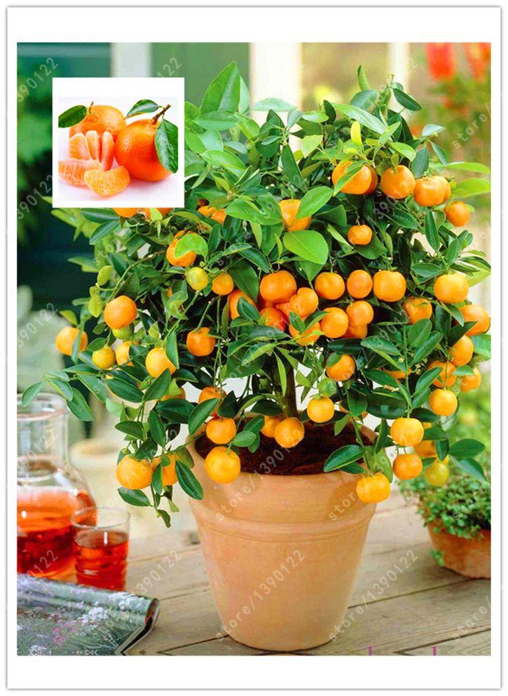 20 orange семена карлик Бонсай Mandarin Orange Семена Съедобные Семена Фруктовых деревьев для дома сад
