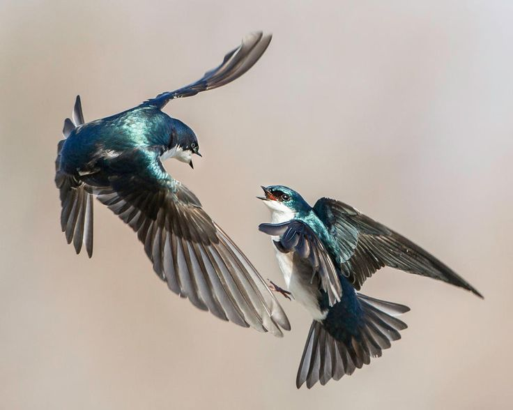Tree Swallows. Photo: Jerry Amende/Audubon Photography Awards Most kinds of birds defend territories during the breeding season, driving away other birds of their own kind. Tree Swallows don't defend large feeding territories, since they range widely in pursuit of flying insects, but they can be very aggressive in defense of their nest site. Early in the season, when the swallows are choosing nest cavities, they often engage in spectacular aerial skirmishes over choice sites.