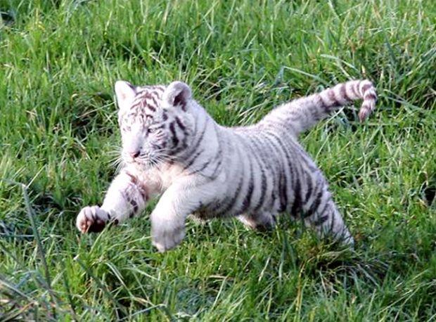 Female Tiger killed cub in Nagarhole?