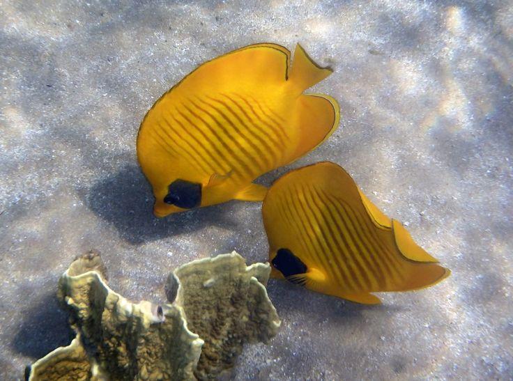 The bluecheeked butterflyfish... welcome to my travel blog in Finnish. Tervetuloa matkablogiini. :)