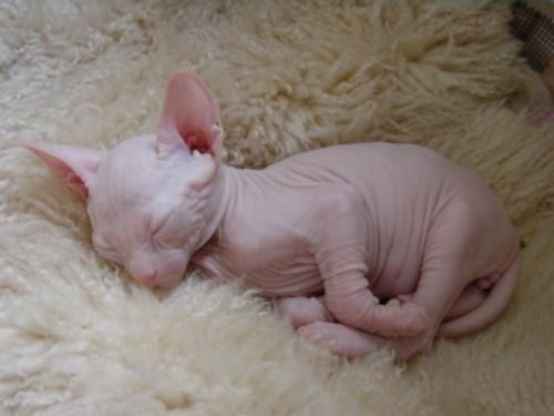 awh hahaFunny Kitty, Sphinx Kitten, Sphynx Cat, Hairless Cats, Baby Kittens, Baby Sphinx, Animal, Cat Lady, Baby Cat