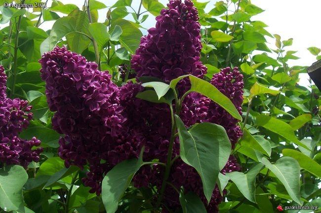 Syringa Vulgaris Monge One Of The Darkest Purple Lilac