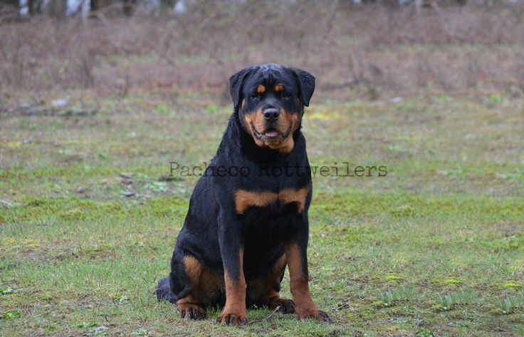 Rambo 6 Months, Playing in the Rain #rottweiler #puppy #growing #fast #thembrows #handsome
