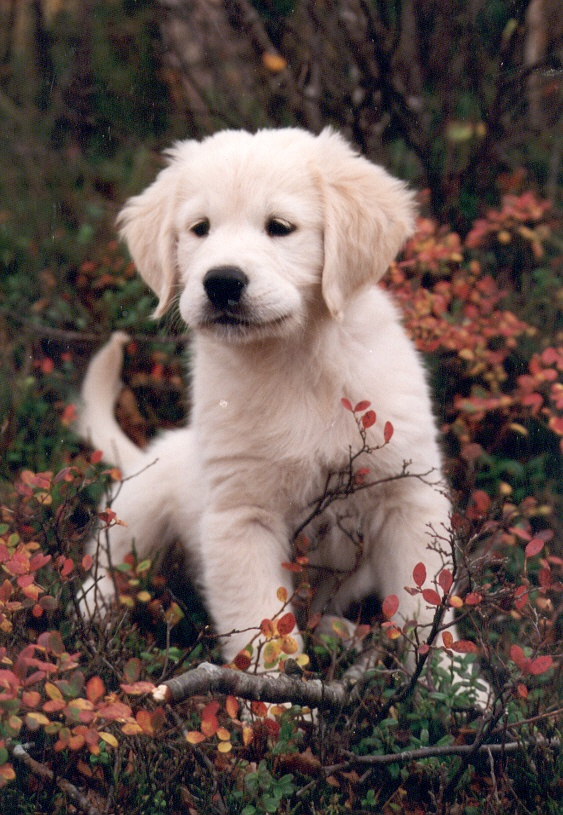 Golden retriever <3