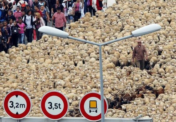 A shepherd leads thousands of sheep at the Old Port during a simulation of a transhumance, the seasonal migration when herds are moved to grazing grounds, as part of festivities to mark Marseille-Provence being named the 2013 European Capital of Culture in Marseille, France, June 9, 2013. REUTERS-Jean-Paul Pelissier
