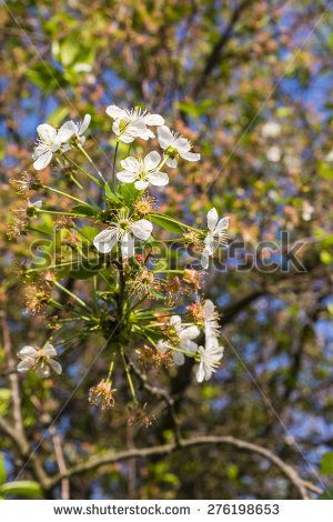 Blossoming cherry twig - Prunus cerasus (sour cherry, tart cherry, dwarf cherry, wild cherry, Cerasus vulgaris Mill.)