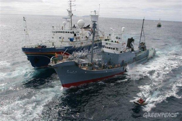 Los barco de Greenpeace Esperanza y el Arctic Sunrise (en el fondo) y sus gomones inflables tratar de obstaculizar el traspaso de una ballena Minke capturada por la flota japonesa Kyo Maru N º 1 al barco factoría Nisshin Maru en 2005.  © © Greenpeace / Jeremy Sutton- Hibbert