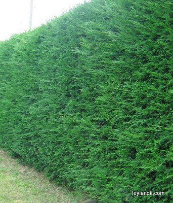 Maintaining a Leylandii Hedge