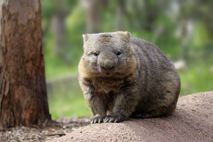 In honour of Wombat Day, here are 17 facts about wombats you probably didn't know
