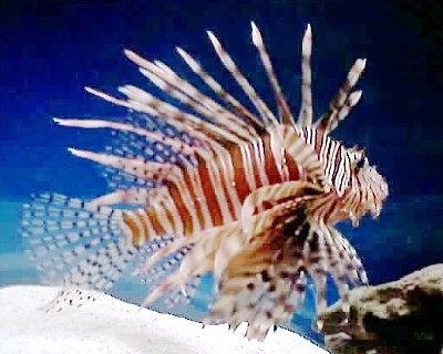 Great Beginner Fish for a Saltwater Aquarium: Volitan Lionfish (Pterois volitans)