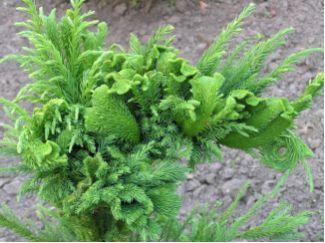Cryptomeria japonica Cristata