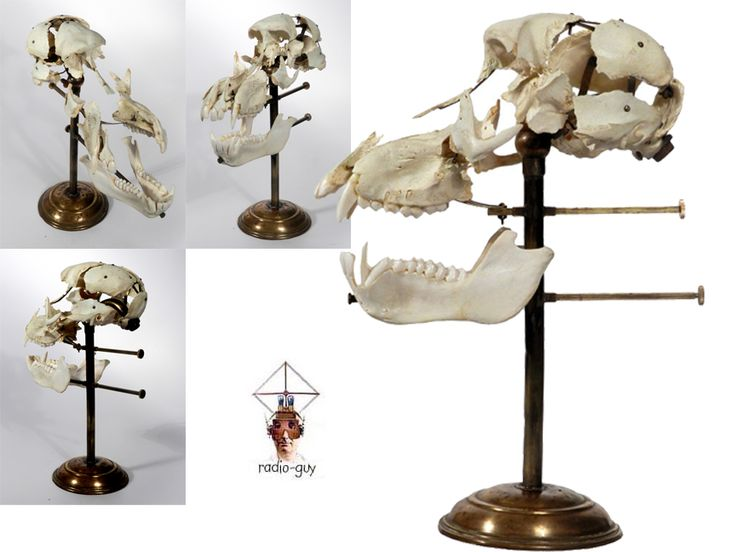 Real Beauchene Baboon Skull- Beauchene Skull, also known as an exploded skull, is a disarticulated human skull that has been painstakingly   reassembled on a stand with jointed, movable supports that allows for the moving and studying of the skull as a   whole or each piece individually. In the mid-1800s French anatomist Claude Beauchene developed this method to display the anatomy of the head $2800.00