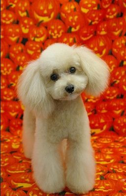 I'm not normally a big fan of poodles, but the way they cut the fur around his paws makes me squee.  XD